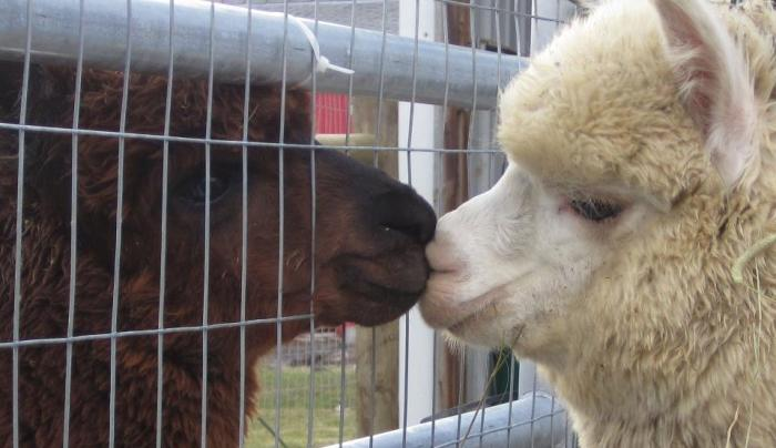 Diamond Alpacas of Clarence image