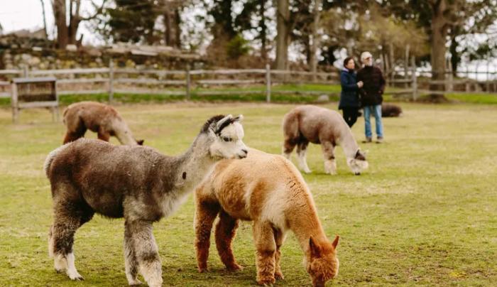 Faraway Farm Alpacas babies