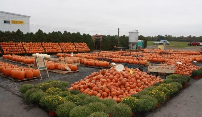 Golden Harvest pumpkin patch