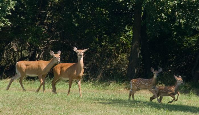 HSP Deer
