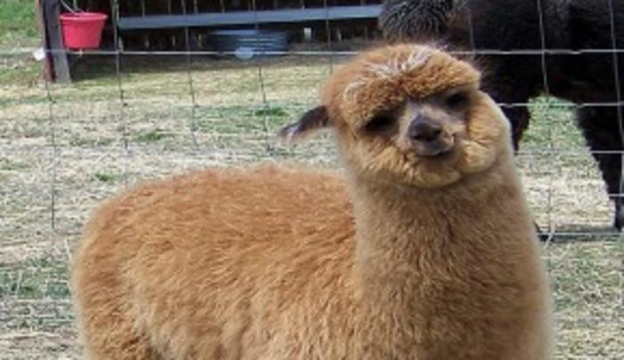 Close-Knit Alpacas