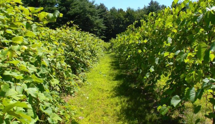 Hid-In-Pine Vineyard