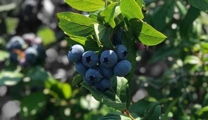 Hillview Blueberry Farm