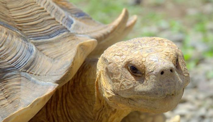 Spur Thigh Tortoise