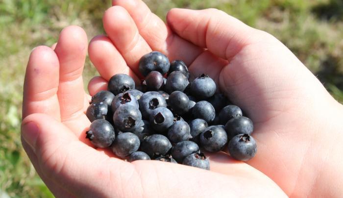 Timberlane Blueberries