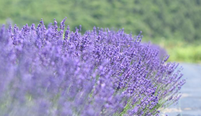 close lavender