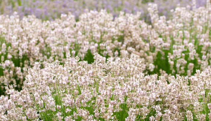 Lavender by the Bay - Photo by Jen Rozenbaum
