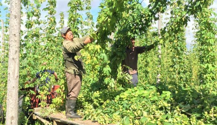 Hop Harvest