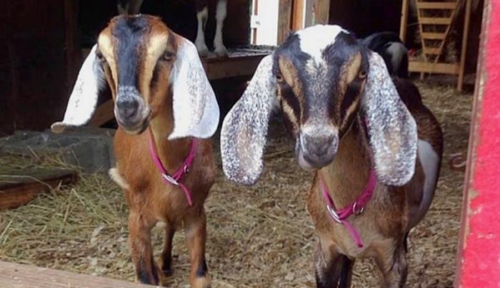 Goats Museum Village
