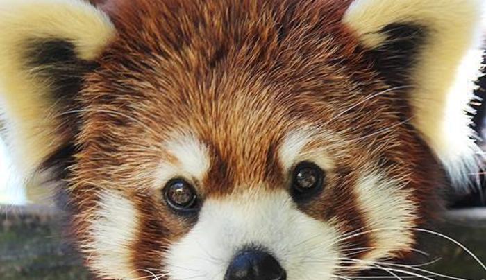 Mei-Li, Red Panda