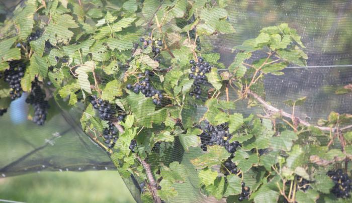 Vineyard at Izzo White Barn Winery