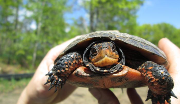 Albany Pine Bush turtle