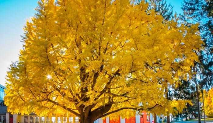 Cayuga Museum Ginkgo Tree