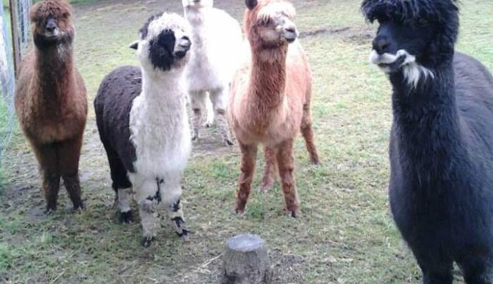 Stoney Acres Alpacas