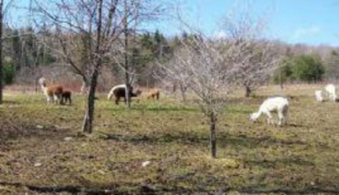Ruebarb Alpacas