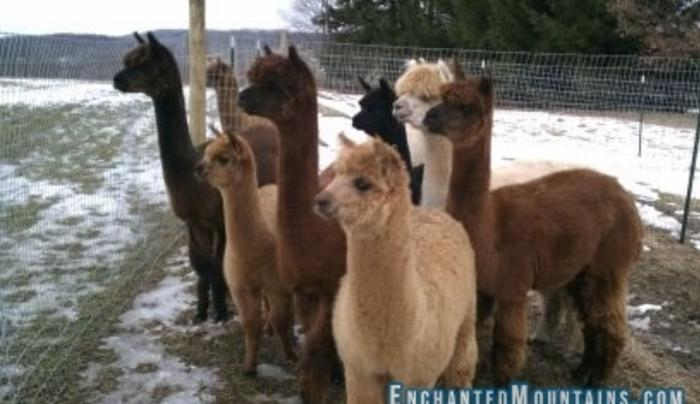 A Slice of Heaven Alpacas