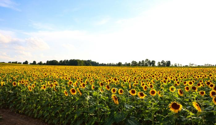 frederick-farm-clifton-springs-exterior-sunflowers-sky