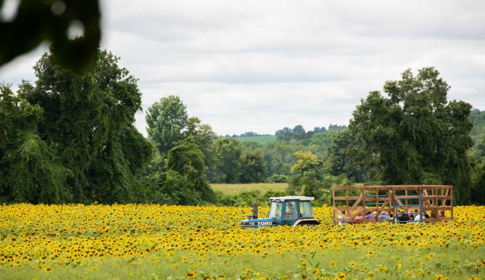 Photo of a tractor clearing a field of sunflowers at Frederick Farms in Clifton Springs