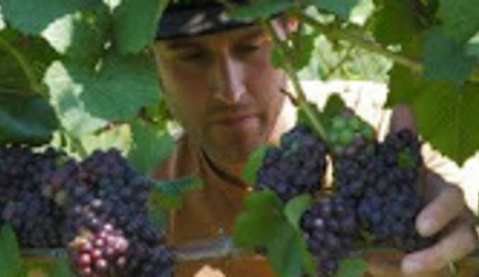 Leonard Oakes Estate Winery grapes
