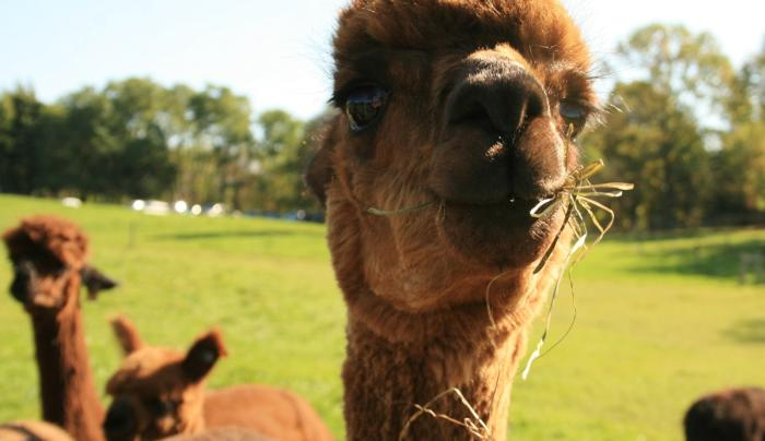lazy-acre-alpacas-bloomfield-alpaca