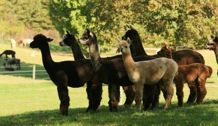 lazy-acre-alpacas-bloomfield-alpacas