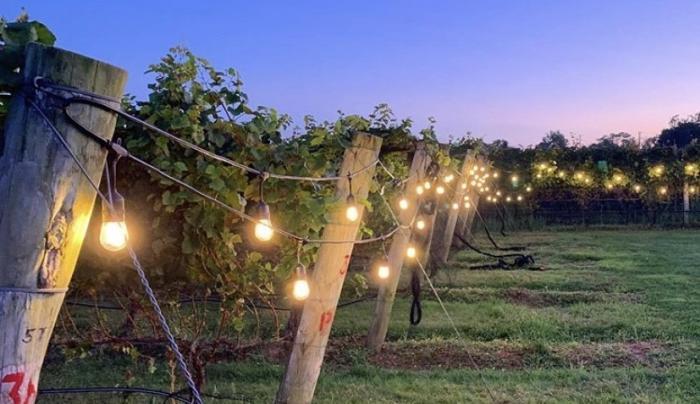 Sparkling Pointe vines at dusk