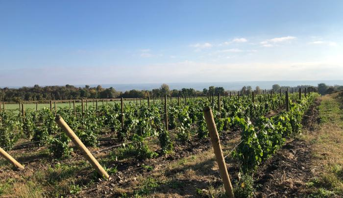 The new vineyard, looking east