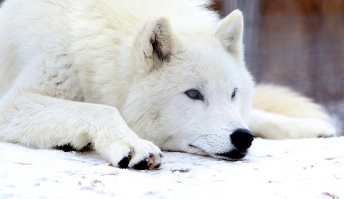 Arctic Wolf: Odin