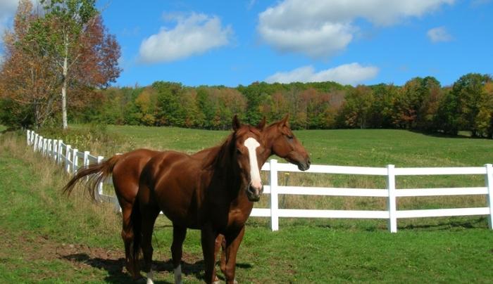 horses_whitefence_medium.jpg