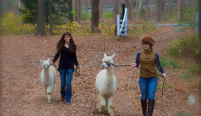 Learn to walk an alpaca