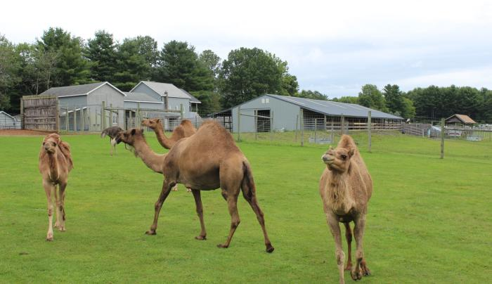 Adirondack Animal Land Camel