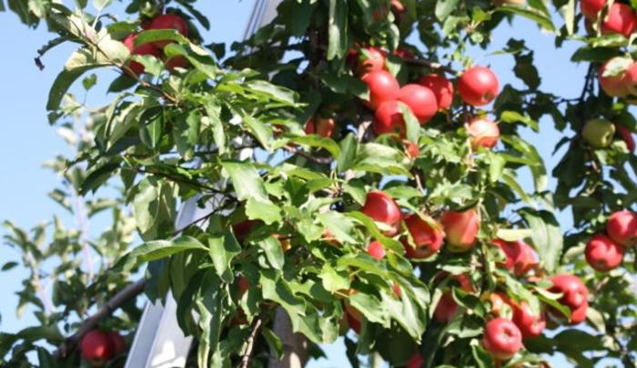 Samascott Orchards Apple Tree ladder