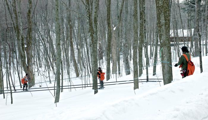 Crown Maple - tapping trees