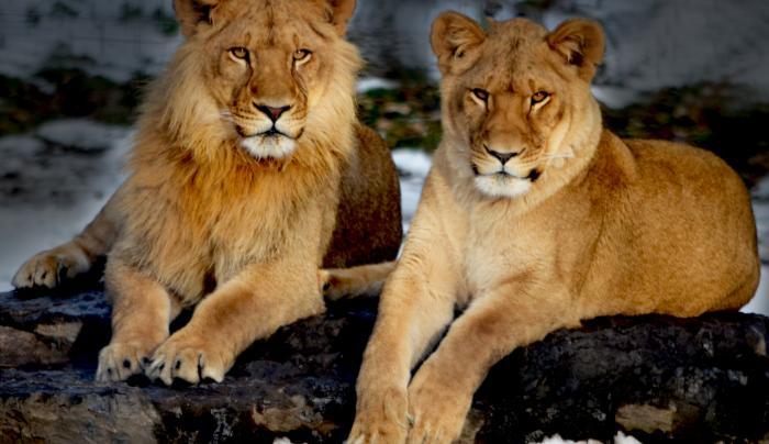 Utica Zoo Cubs