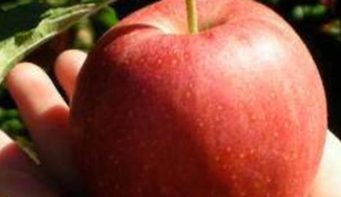 G & S Orchards - Apple
