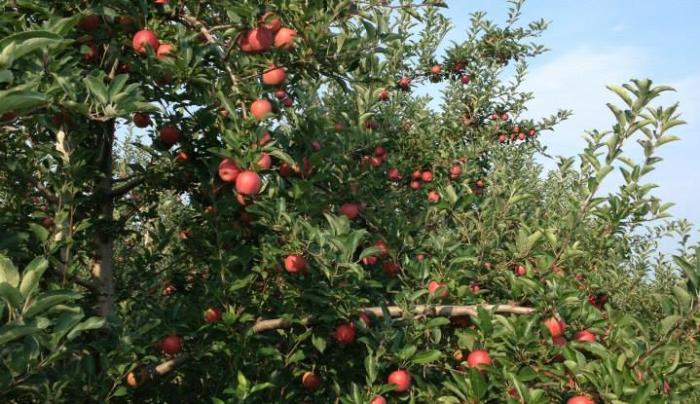 Golden Harvest apple tree