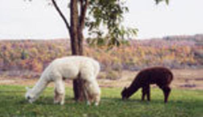 Hemlock Hills Alpaca Farm