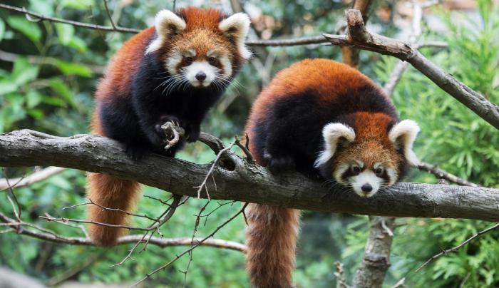 styans red panda at Prospect Park Zoo