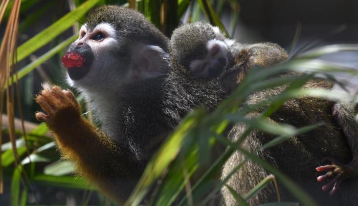 Squirrel Monkey & Baby