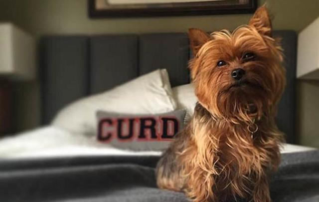 A dog sits on a bed in a room at the Graduate Hotel