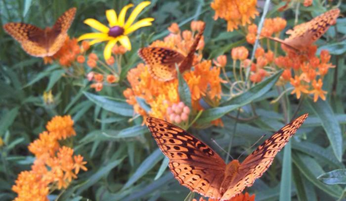 Aphrodite butterflies on butterfly weed by Gus Nyberg