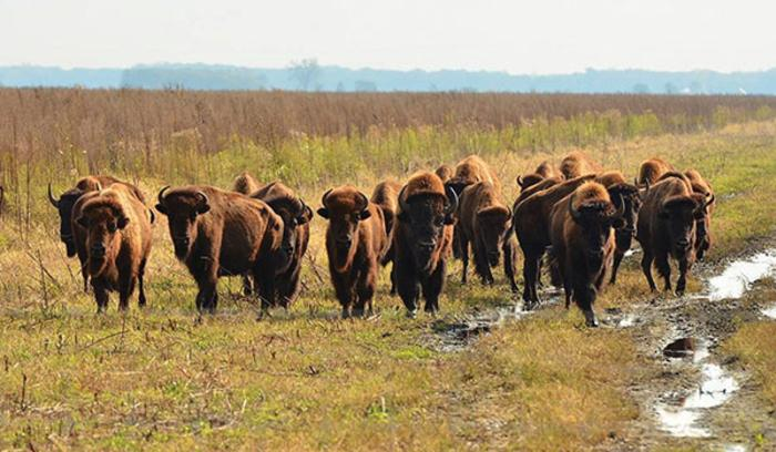 Bison at Kankakee Sands