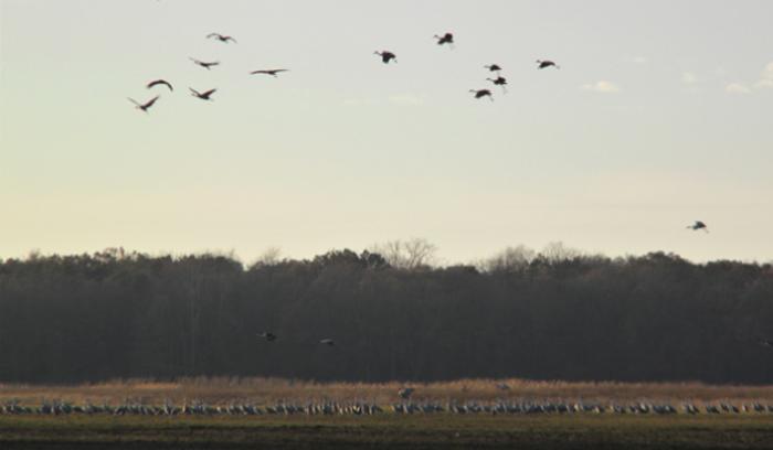 Jasper Pulaski Sandhill Cranes in flight - Katherine Stob
