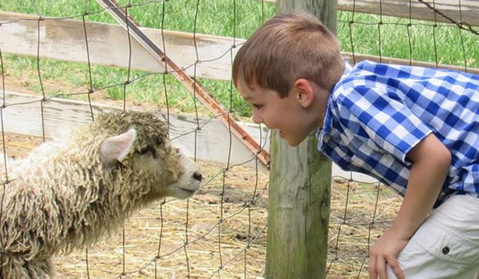 Sheep at Buckley Homestead