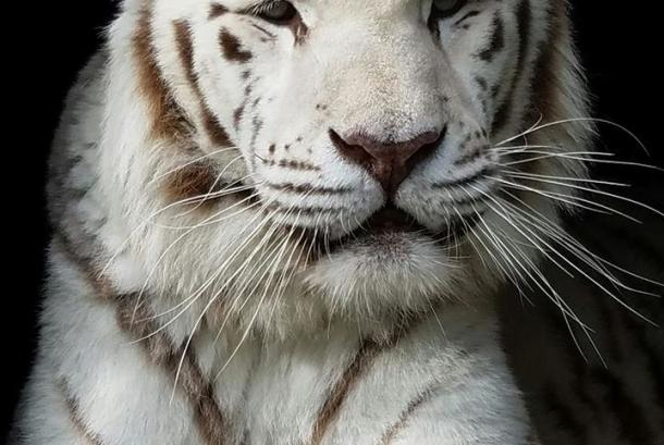 Cat Tales White Tiger - Nalin