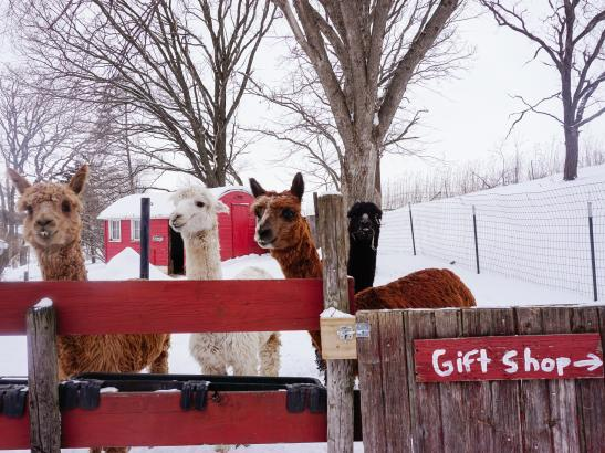 Pauley Alpaca Company | credit Lindsey Ranzau