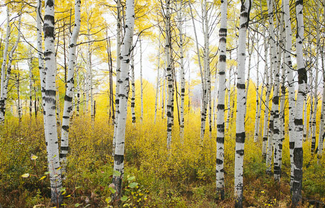 alpine loop aspen trees