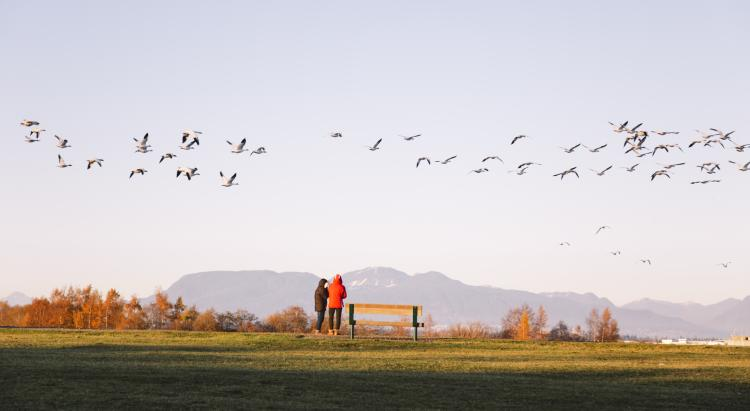 Snow Geese at Garry Point Park