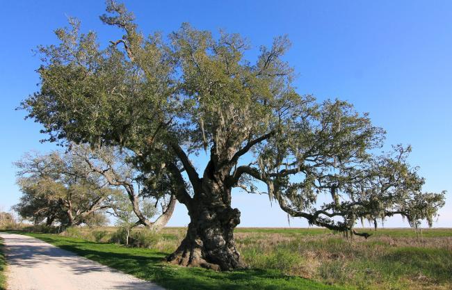 Chenier Perdue Oak