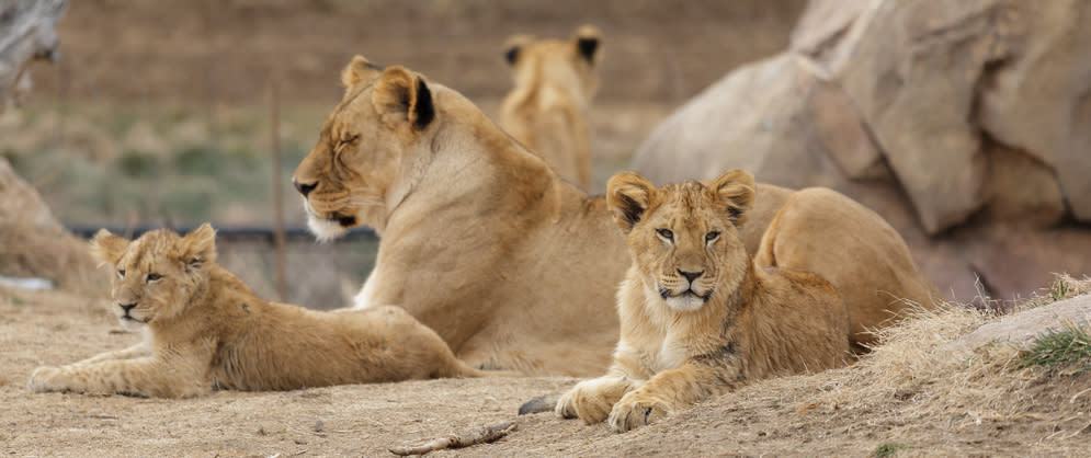 Lion Mom & Cubs laying down at the Denver Zoo
